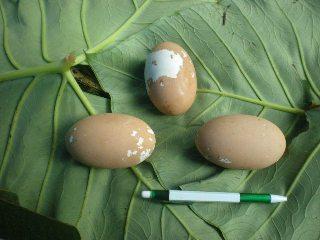 Telur burung Maleo